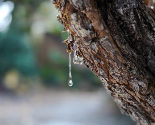 mastic gum tree