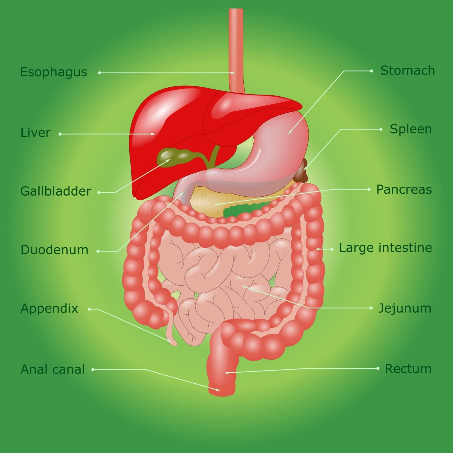 Alcohol on digestive system